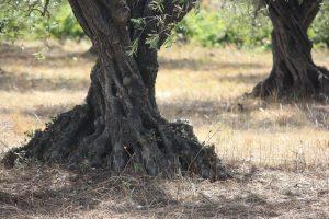 tronc olivier région de lodève sucré salé en languedoc olives oliviers