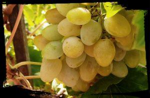 raisin pour recette perdreaux sucré salé en languedoc