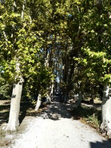 allée de platanes chateau capion aniane sucré salé en languedoc