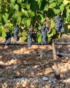 belle vigne domaine de la grande sieste à aniane sucré salé en languedoc